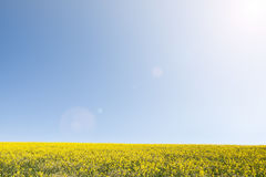 Meadow of yellow flowers on blue sky. Royalty Free Stock Photos