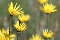 Meadow with yellow flowers Royalty Free Stock Images