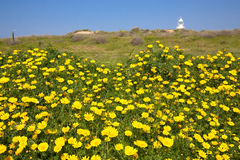 Meadow of yellow flowers among the green grass. Lighthouse in th Royalty Free Stock Photo