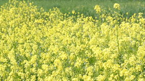 Meadow with yellow flowers stock video footage
