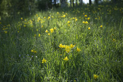 Meadow with yellow flowers. Under sun ray Royalty Free Stock Image