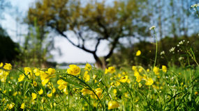Meadow. Yellow grass tree flower spring summer aroma bud smell royalty free stock photo