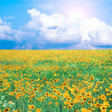 Meadow with yellow poppies Royalty Free Stock Image
