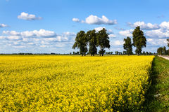 Meadow of yellow rapeseed and sky with clouds Royalty Free Stock Photos