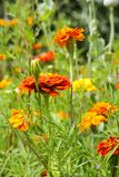 Meadow of zinnias in the garden Royalty Free Stock Photography
