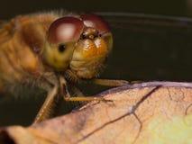Meadowhawk蜻蜓 库存图片