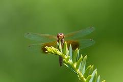 Meadowhawk Bande-à ailes Photos libres de droits