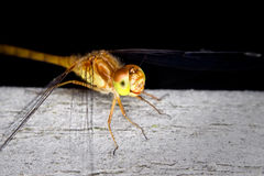 meadowhawk dragonfly Стоковые Изображения