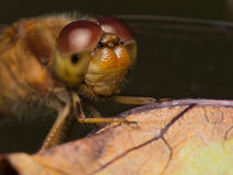 Meadowhawk Dragonfly Stock Image