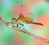 Meadowhawk Dragonfly (Sympetrum semicinctum) Royalty Free Stock Photos