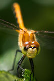 Meadowhawk Tache-à ailes Photo stock