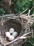 Meadowlark鸟巢 免版税库存照片