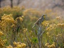 Meadowlark σε έναν κλάδο θάμνων στοκ εικόνα