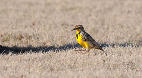Meadowlark Royalty Free Stock Images