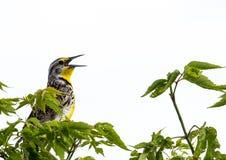 Meadowlark Royaltyfria Bilder