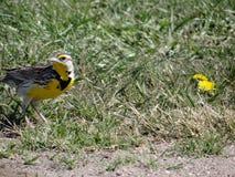 西Meadowlark 免版税库存照片
