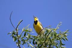 meadowlark στοκ φωτογραφία με δικαίωμα ελεύθερης χρήσης