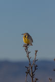 Meadowlark on Branch Royalty Free Stock Photo