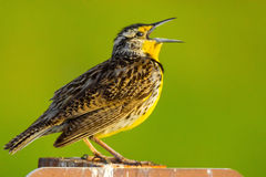 Meadowlark Closeup ocidental Foto de Stock