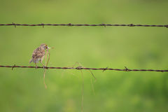 Meadowlark dans le pays Photos stock