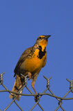 Meadowlark on Fence Stock Photos