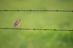 Meadowlark in land Stock Foto's