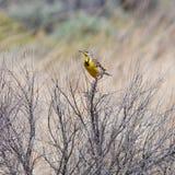 Meadowlark maschio Fotografia Stock Libera da Diritti