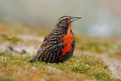 Meadowlark met lange staart, Sturnella-loycafalklandica, Saunders-Eiland, Falkland Islands Royalty-vrije Stock Afbeeldingen