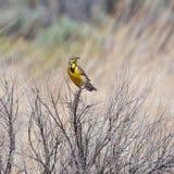 Meadowlark nei cespugli Immagini Stock Libere da Diritti