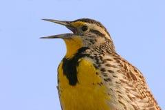Meadowlark occidental Imagen de archivo libre de regalías