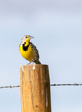 Meadowlark occidental image libre de droits
