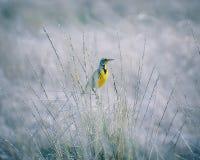 Meadowlark occidental Imagenes de archivo