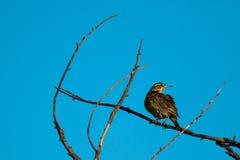 Meadowlark occidental incurv? posent mettre en parall?le des courbes de branche image stock