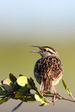 Meadowlark occidental, neglecta de Sturnella Image stock
