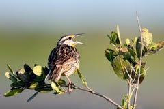 Meadowlark occidental, neglecta de Sturnella Images libres de droits