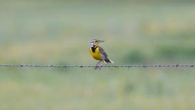 Meadowlark occidental sur le barbelé Photos libres de droits