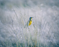 Meadowlark occidentale immagini stock