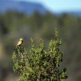 Meadowlark occidentale, neglecta dello Sturnella Fotografia Stock Libera da Diritti