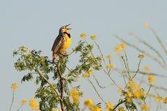 Meadowlark occidentale (neglecta dello sturnella) Fotografia Stock Libera da Diritti