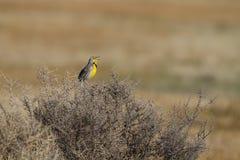 Meadowlark occidentale, neglecta dello Sturnella fotografie stock libere da diritti
