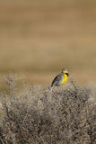 Meadowlark occidentale, neglecta dello Sturnella Immagini Stock Libere da Diritti