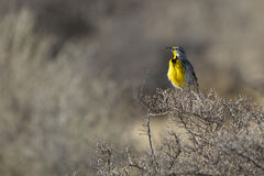 Meadowlark occidentale, neglecta dello Sturnella Fotografia Stock