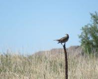 Meadowlark op aar op gebied royalty-vrije stock afbeelding