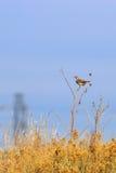 Meadowlark oriental que canta em uma flor de Sun Fotos de Stock Royalty Free