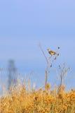 Meadowlark oriental que canta em uma haste de flor de Sun Foto de Stock Royalty Free