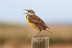 Meadowlark orientale (magna dello Sturnella) Fotografie Stock