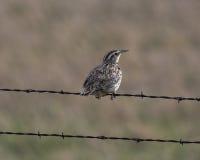 Meadowlark Perch Imagenes de archivo