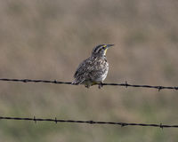 Meadowlark Perch. Ed on wire fence Stock Images
