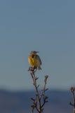 Meadowlark Royalty Free Stock Image