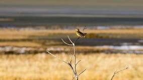 Meadowlark Perched occidental en un árbol Imagen de archivo libre de regalías